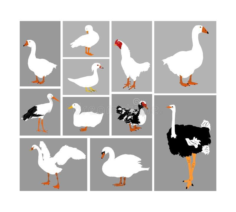Vogelsammlungs-Vektorillustration lokalisierte Großer Satz Bauernhofgeflügel und Haustiere Geflügelgruppe Storch, Ente, Gans stock abbildung