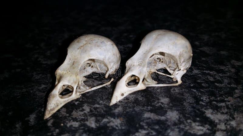 Vogelschädel stockfoto