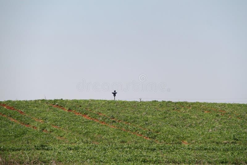 Vogelscheuche über einem grünen Feld stockbild
