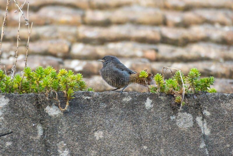 Vogelschwarzrotschwänzchen Phoenicurus ochruros stockfotografie