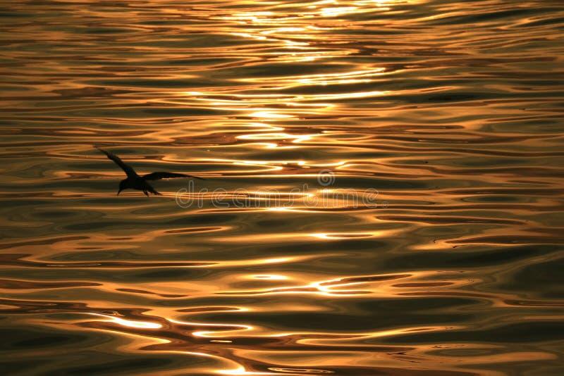Vogelsilhouet tegen zeewateroppervlakte met zachte rimpelingen in de bezinningen van het ochtendzonlicht stock foto's