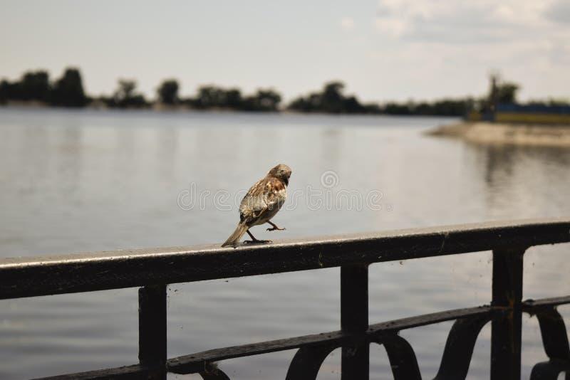 Vogelspatz stockbilder