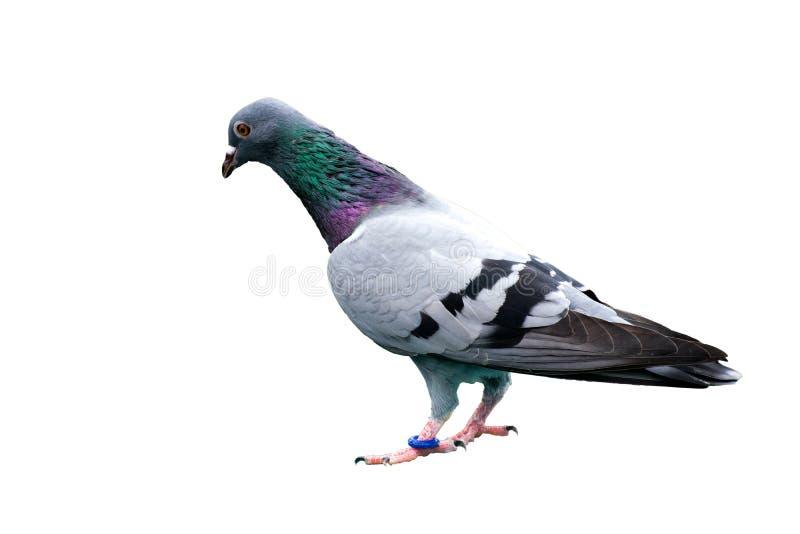 Vogeltaube lokalisiert auf wilder wilder grün-blauer Stange des weißen Hintergrundes stockfotografie