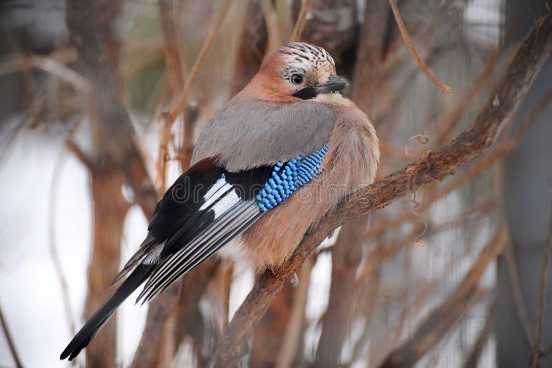 Vogeltje Van Sojka Stock Afbeelding
