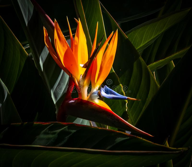 Vogelvogel van de paradijsbloem, donkere bladachtergrond royalty-vrije stock afbeeldingen
