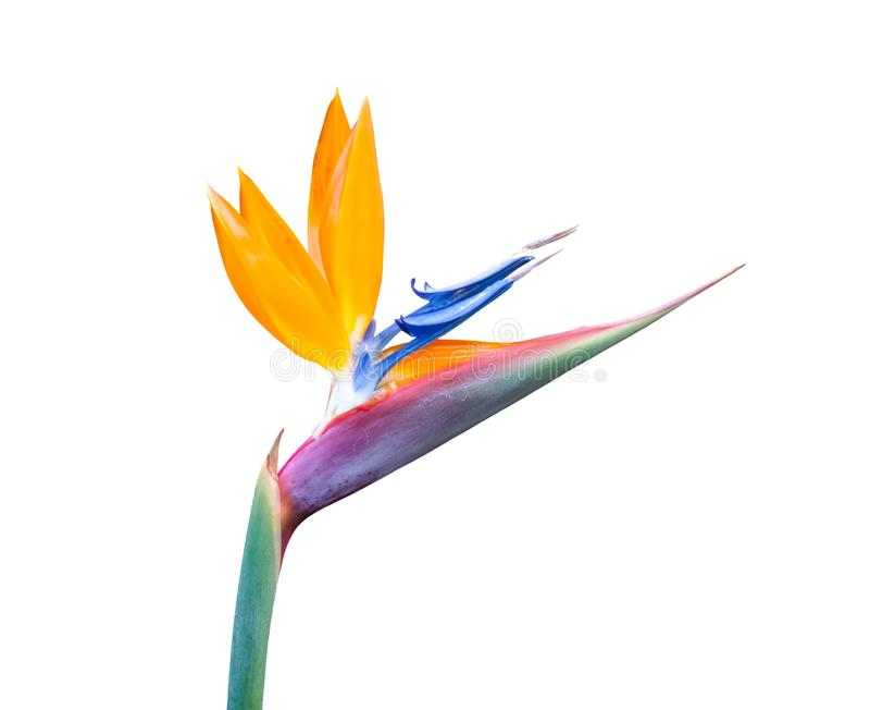 Vogelvogel van de paradijsbloem, witte achtergrond stock afbeelding