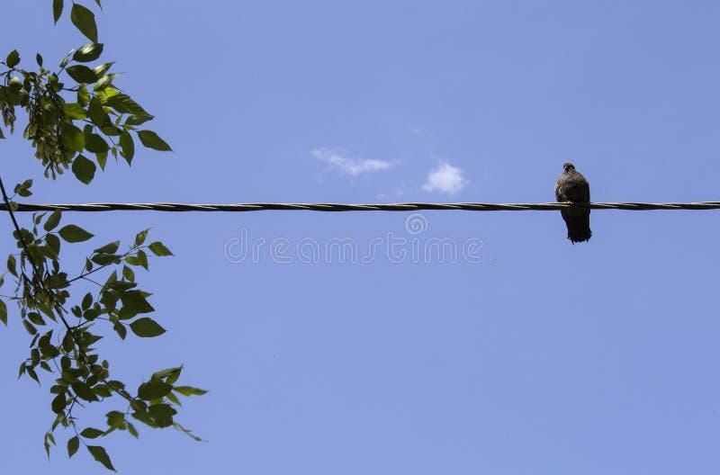 Vogelzitting op elektrokabellijn stock foto's