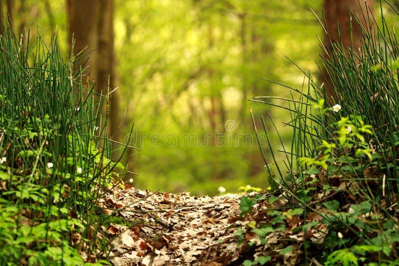 Voie dans la forêt de vert d'été au soleil, fond de nature image libre de droits