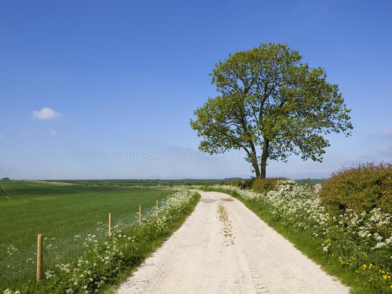 Voie de chaux et arbre de cendre mûr dans le printemps image libre de droits
