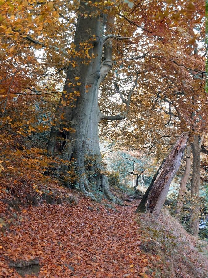 Voie de forêt en automne avec le grand arbre de hêtre et les feuilles tombées photos libres de droits