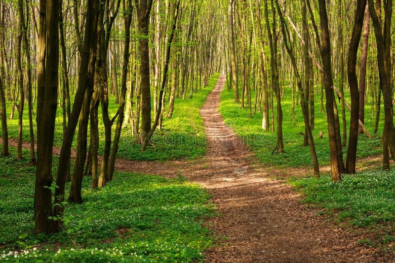 Voie de forêt en bois verts de floraison au coucher du soleil photo stock