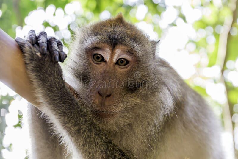 Voie de singe, plage de Krabi, Thaïlande photographie stock libre de droits