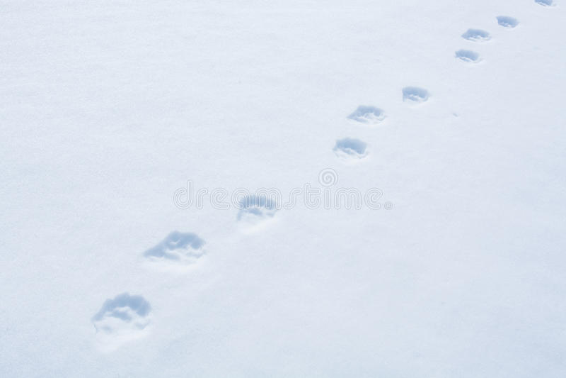 Voie de Wolverine dans la neige photos libres de droits