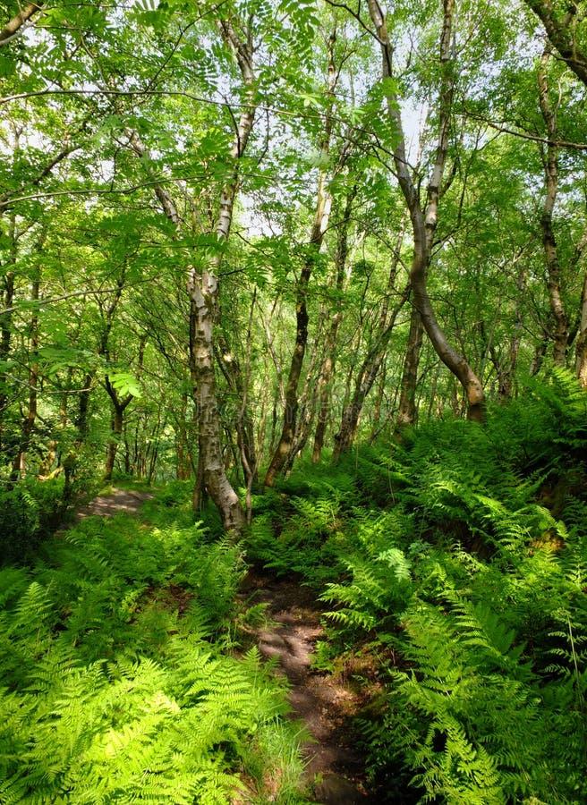 Voie par la région boisée verte d'été avec le feuillage vert vibrant et les fougères ensoleillées sur le plancher de forêt avec l image stock