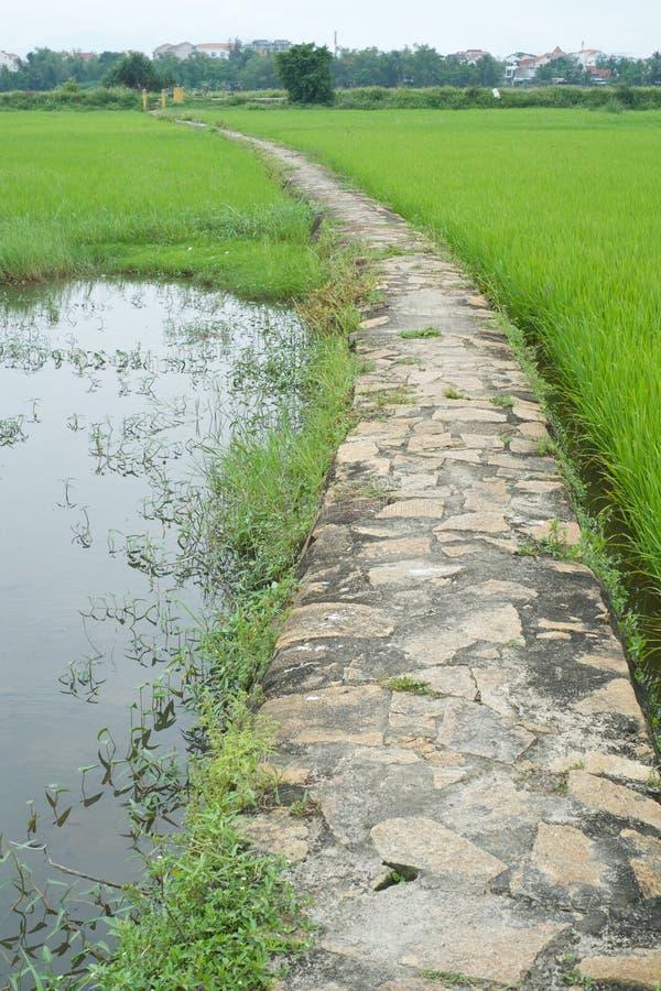 Voie pierreuse parmi le gisement de riz photo libre de droits