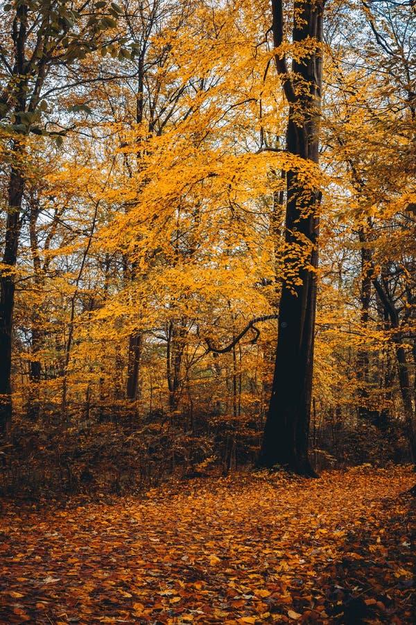 Voie près d'arbre jaune énorme de golgen dans la forêt d'automne photographie stock