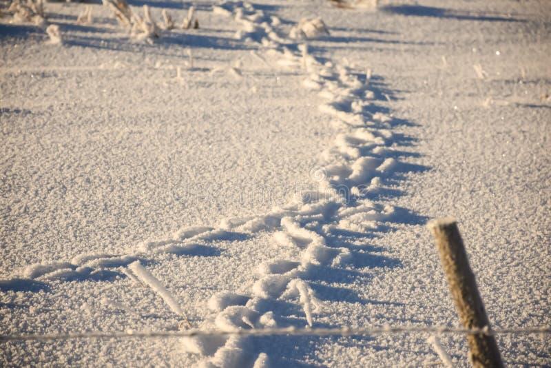 Voies de lapin dans la neige photos stock