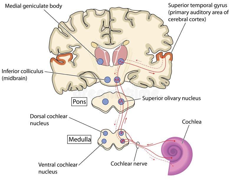 Voies de nerf de l'oreille au cerveau illustration de vecteur