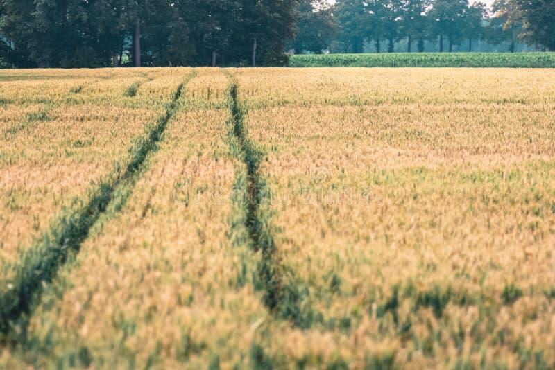 Voies de pneu dans le domaine de blé photos stock