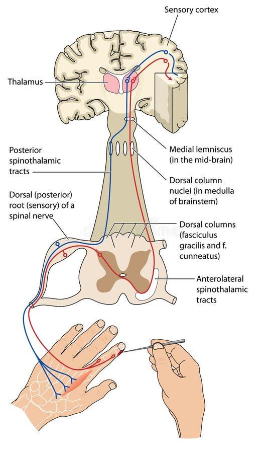 Voies sensoriel et de moteur de nerf illustration stock