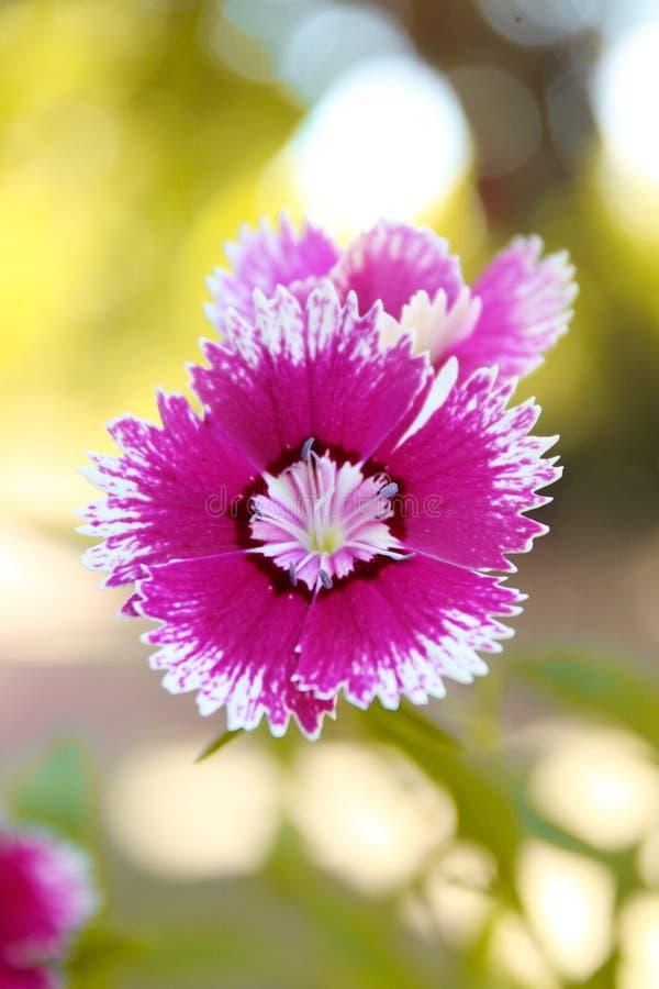 Voilet blomma fotografering för bildbyråer