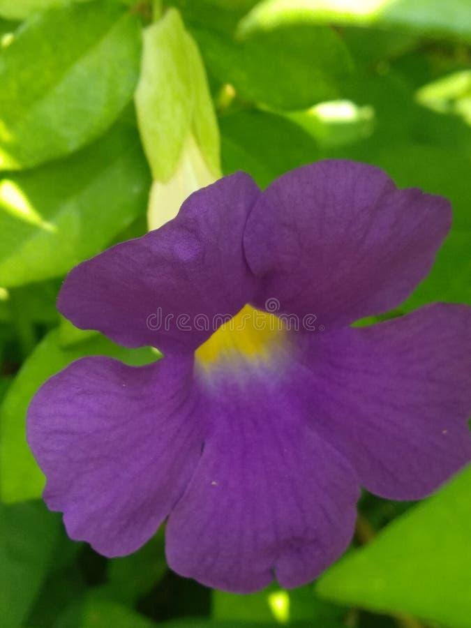 Voilet-Blume lizenzfreie stockbilder
