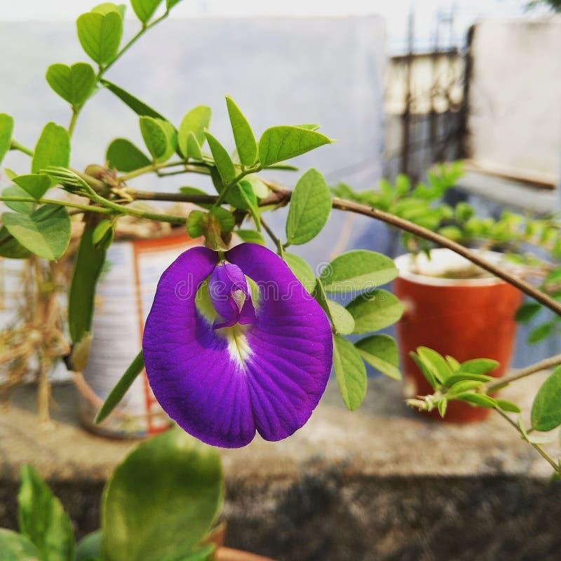 Voilet-Blume lizenzfreies stockbild