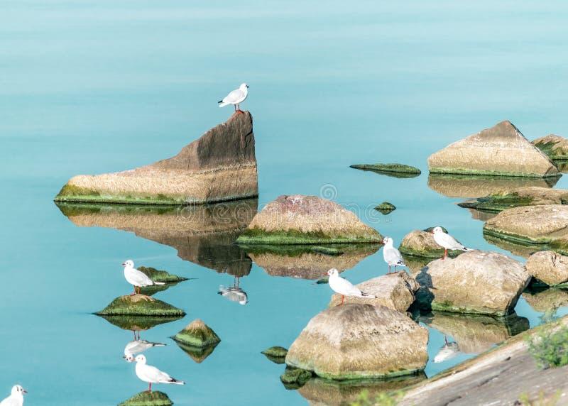 Volée des oiseaux blancs de mouette se reposant sur de grandes roches sur l'eau bleue Fond lumineux naturel de réservoir de l'Ukr photos libres de droits