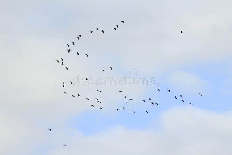 Volée des oiseaux croisant des nuages photos stock
