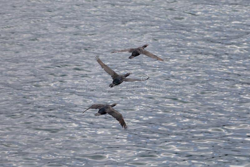 Volée des oiseaux de Cormorant volant au-dessus de l'océan pacifique images libres de droits