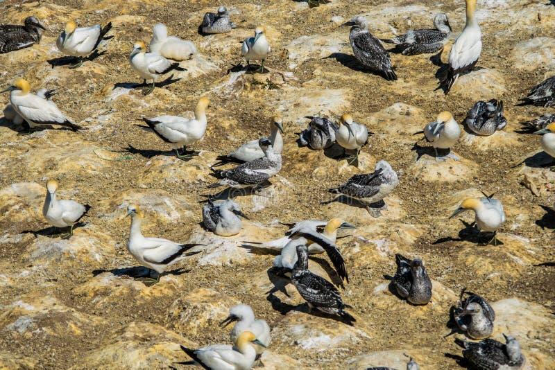 Volée des oiseaux de fou de Bassan photographie stock libre de droits