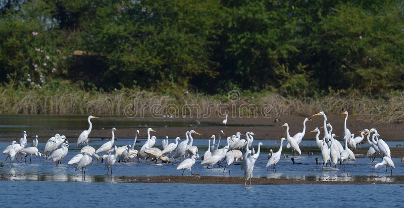 Volée des oiseaux de marécage à l'étang photographie stock libre de droits