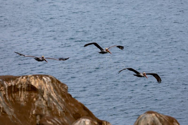 Volée des oiseaux de pélican volant au-dessus des falaises en plage de La Jolla, San Diego, la Californie image stock