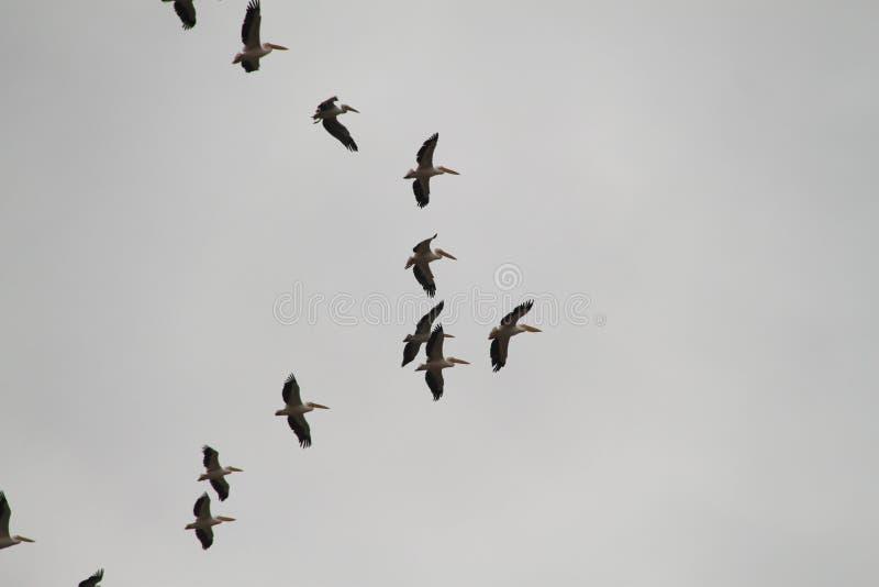 Volée des oiseaux de pélicans de migration en ciel nuageux d'hiver photographie stock libre de droits