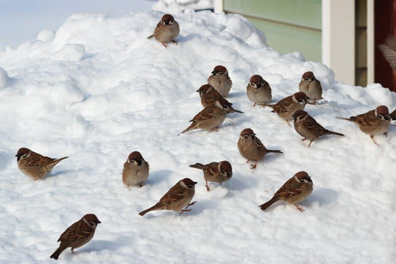 Volée des oiseaux sur la neige photographie stock