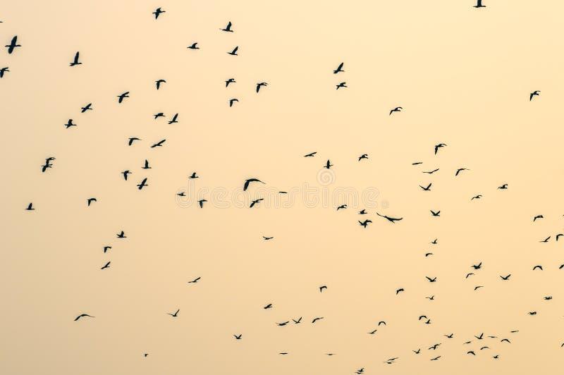 Volée des oiseaux sur le fond d'isolement photos libres de droits