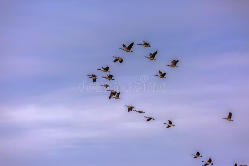 Volée des oiseaux volant contre le ciel bleu flou avec des nuages images stock