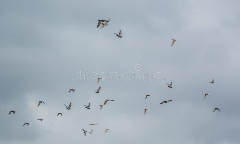 Volée des oiseaux volant sur le ciel gris image libre de droits