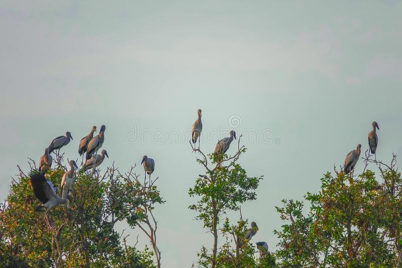 Volée des oscitans d'Anastomus d'oiseaux d'Openbill d'Asiatique se reposant sur l'arbre chez Thale Noi Waterfowl Reserve Lake, Th images libres de droits