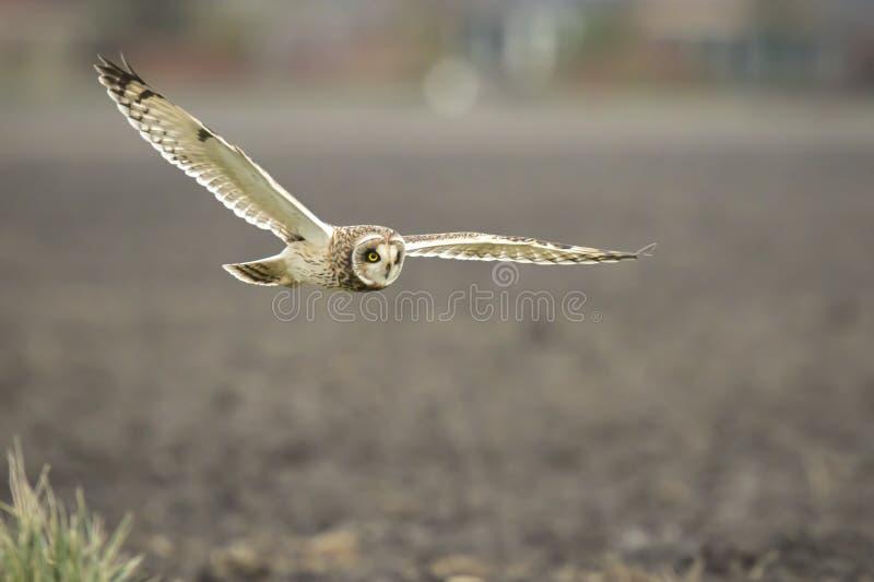 Vol à oreilles courtes de flammeus d'Owl Asio images stock