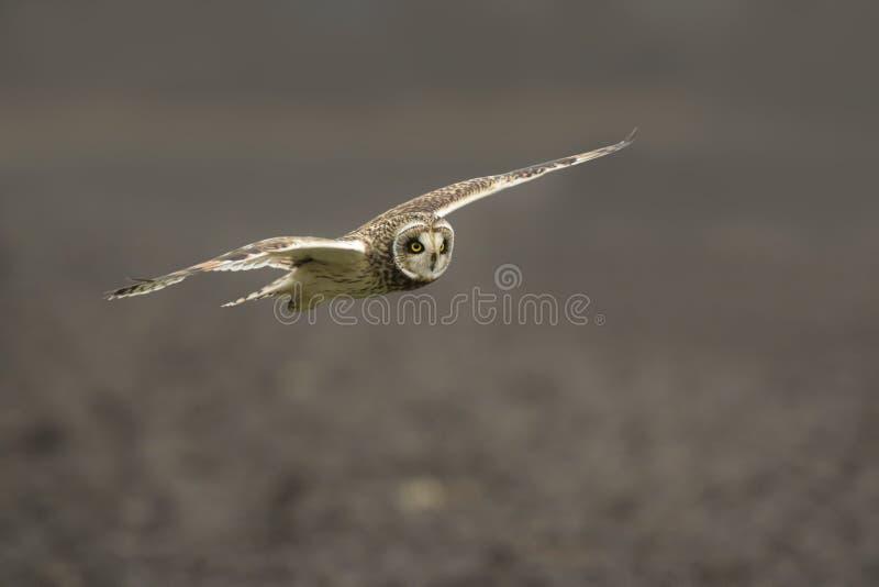 Vol à oreilles courtes de flammeus d'Owl Asio photo libre de droits