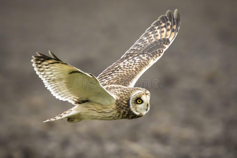 Vol à oreilles courtes de flammeus d'Owl Asio image libre de droits
