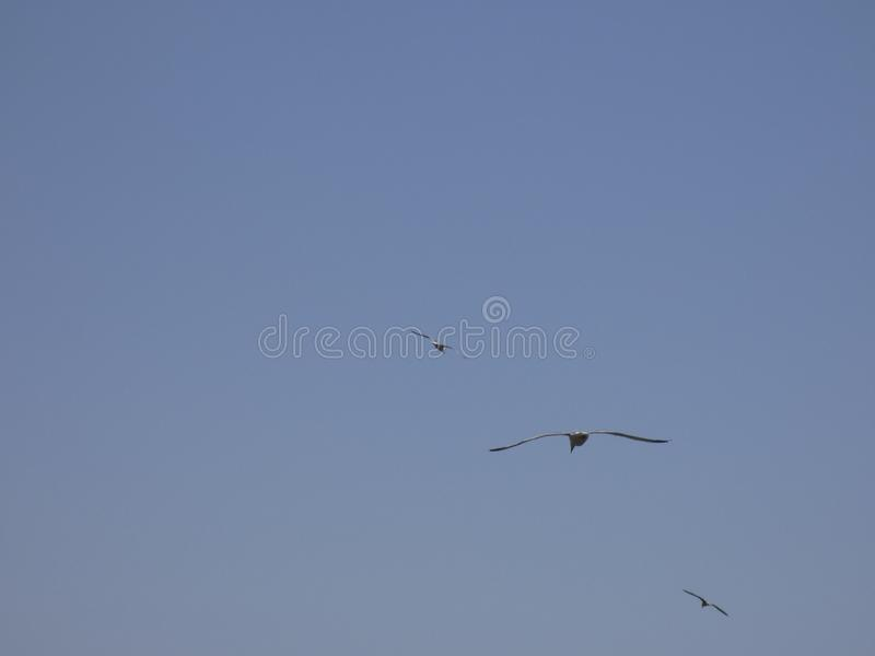 Vol adulte de mouette avec le fond de ciel bleu images stock