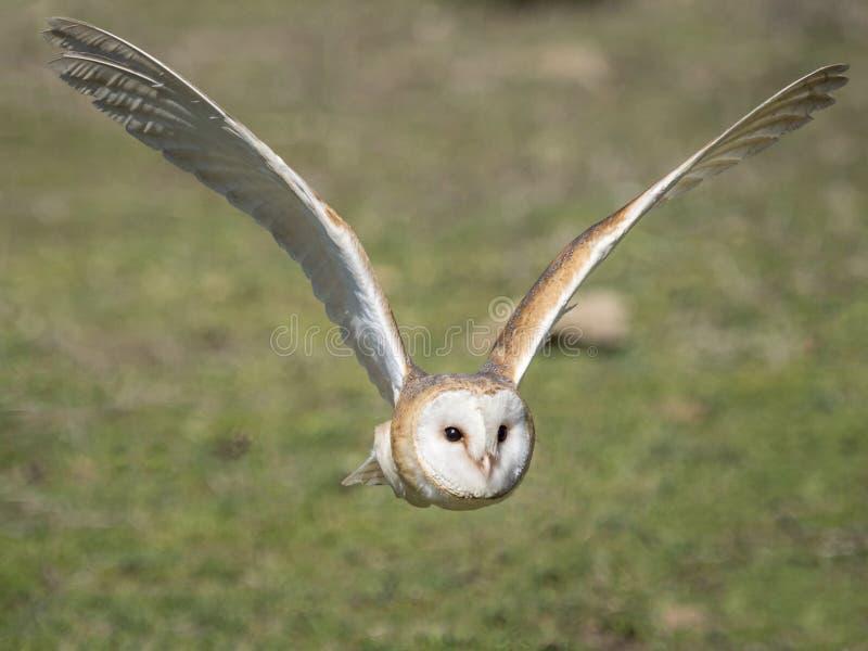 Vol alba de Tyto de hibou de grange dans la forêt photographie stock
