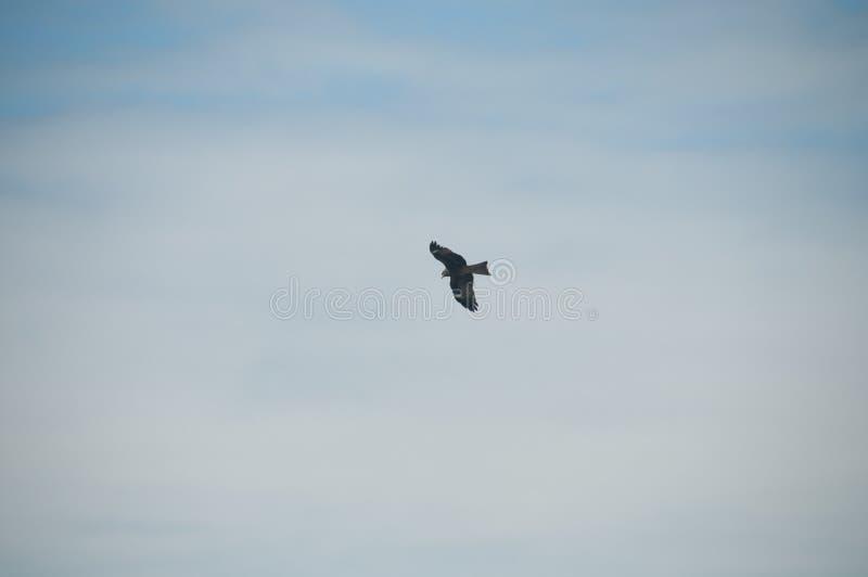 Vol arabe sauvage d'oiseau à plumage de Peregrinus de faucon de faucon d'aigle de désert de Brown et ailes de propagation au-dess photographie stock
