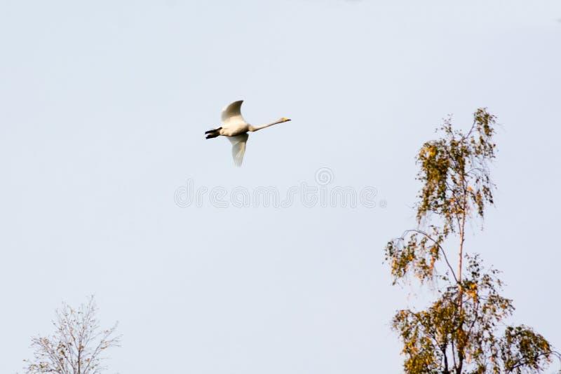 Vol blanc de cygne dans un ciel nuageux bleu, Finlande photo stock