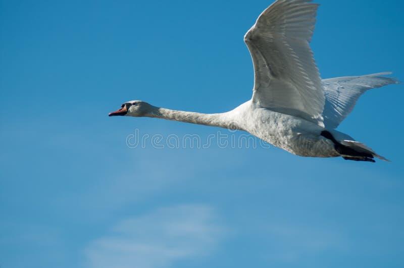 vol blanc de cygne sur le fond de ciel bleu image libre de droits