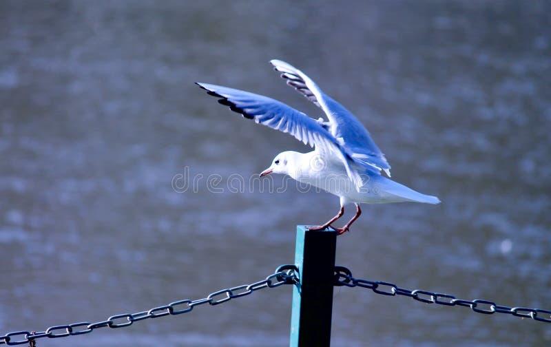 Vol blanc de décollage d'oiseau de mouette d'un pilier avec la rivière dedans photographie stock