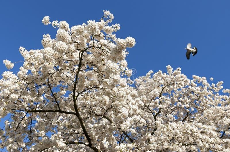 Vol blanc de fleur et de colombe en ciel bleu photographie stock libre de droits
