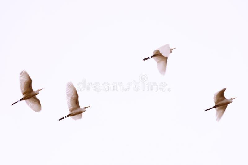 Vol blanc de hérons Photo brouillée avec des oiseaux dans le mouvement Beau voler d'oiseaux images stock